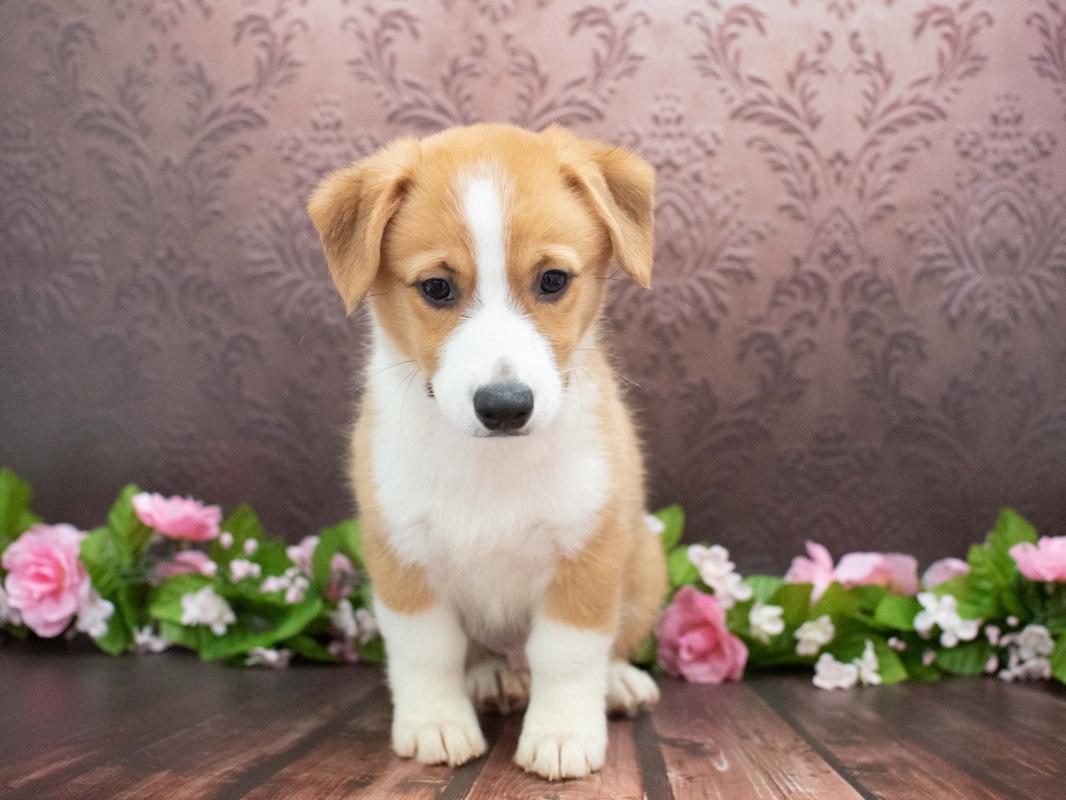 Pembroke Welsh Corgi – 15694   Pet City Pet Shops   Colorado